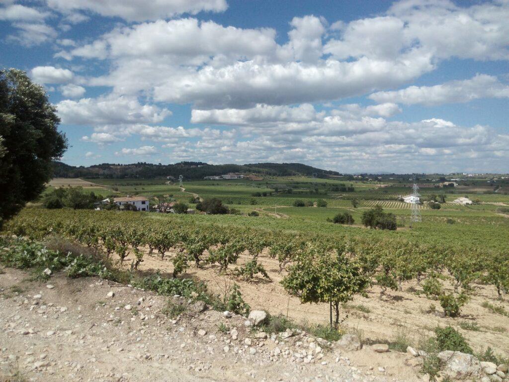 Novetats en la tramitació de les noves plantacions de vinya